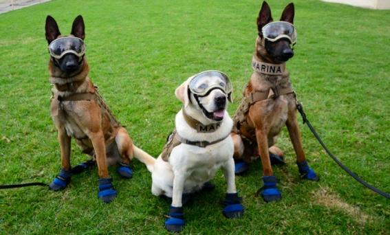 frida la extranable perrita que participo en el rescate de victimas del 19s de 2017 se jubilo en la unidad canina de la secretaria de marina 1