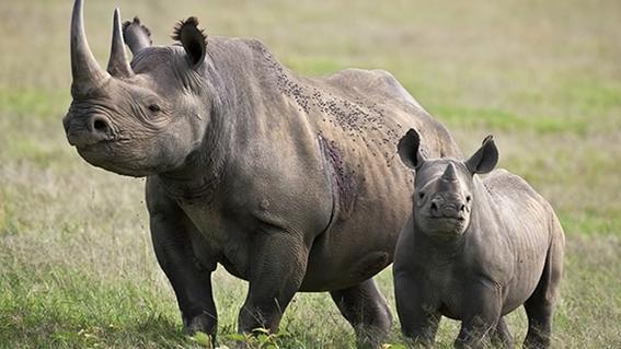 trasladan 5 rinocerontes a ruanda para evitar su extincion 1