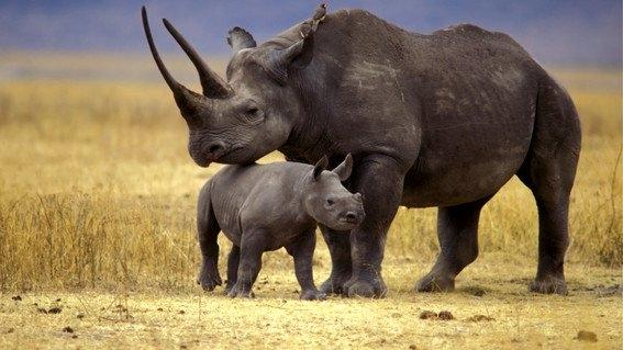 trasladan 5 rinocerontes a ruanda para evitar su extincion 2