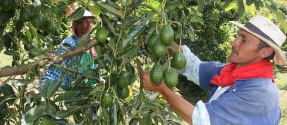 los productores de aguacate en michoacan deben pagar una cuota por derecho de piso de entre 50 y 100 mil pesos 1