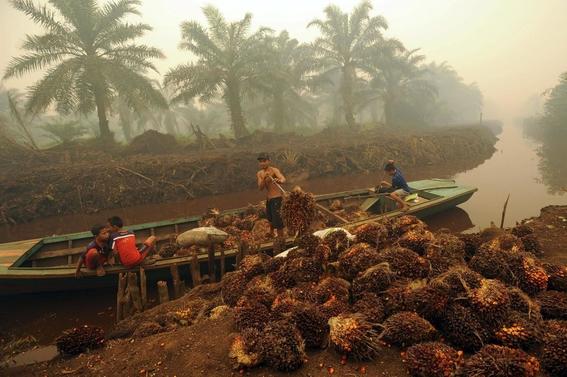 orangutanes no tienen hogar por culpa de produccion de aceite 2