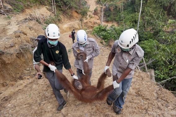 orangutanes no tienen hogar por culpa de produccion de aceite 3