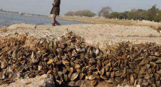 mejillones se cocinan en sus propias conchas por calor extremo 1
