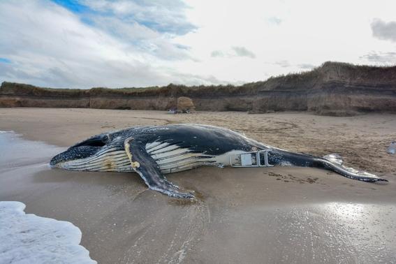 muere ballena por chocar contra un barco en canada 1