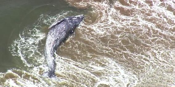 muere ballena por chocar contra un barco en canada 2