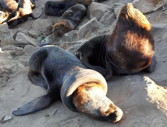 video rescatan a lobo marino con llanta atorada en su cuello 1