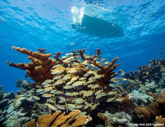 los cientificos atribuyen la decoloracion de los corales al exceso de nitrogeno que seria el causante de la muerte de los arrecifes de coral 2