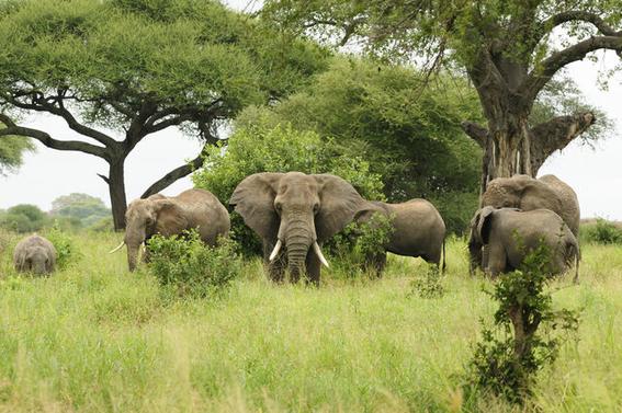 extinciondeelefantesafricanosdebosqueagudizariacambioclimatico 1