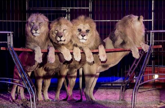 podrian regresar animales a los circos con nueva ley de morena 2