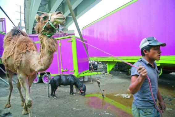 podrian regresar animales a los circos con nueva ley de morena 1