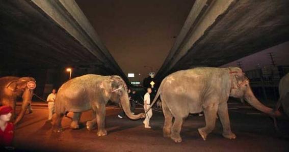 podrian regresar animales a los circos con nueva ley de morena 3