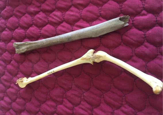 los restos fosiles del ave localizada por investigadores australianos revelan que el animal tenia una altura de un metro y un pico extra fuerte 1