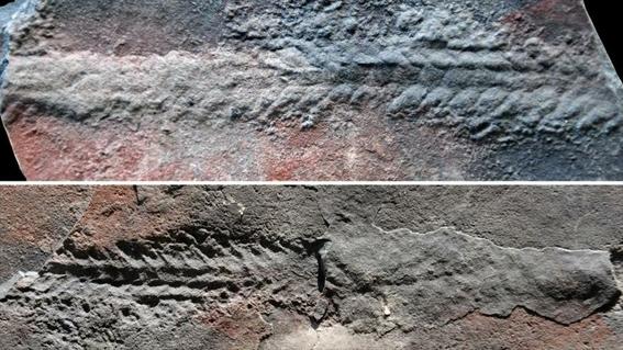 los fosiles desenterrados son el signo mas convincente de la antigua movilidad animal que se remonta a unos 550 millones de anos 1