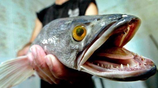 en eu emiten alerta por pez con cabeza de serpiente que tambien camina por la tierra 1