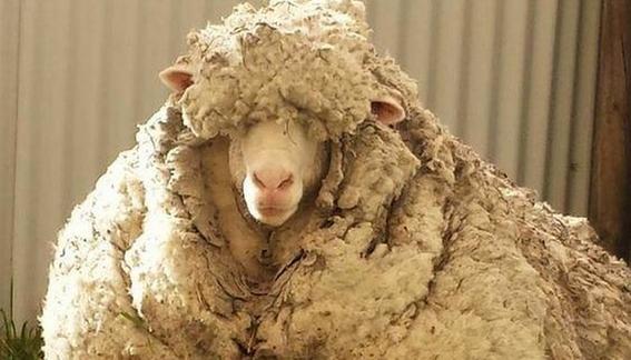 muere oveja chri lanuda vellon record 1