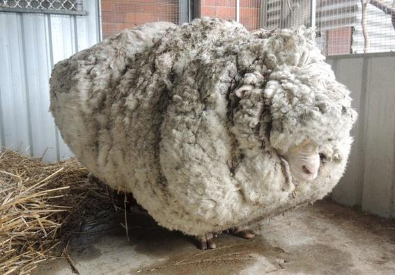 muere oveja chri lanuda vellon record 2