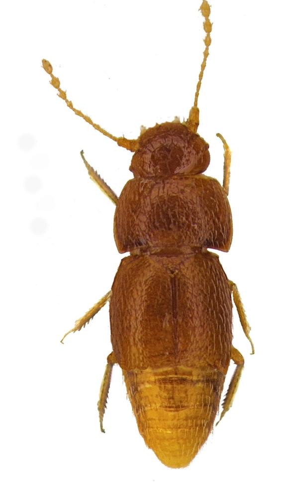 cientifico nombra greta thunberg a insecto que descubrio 1