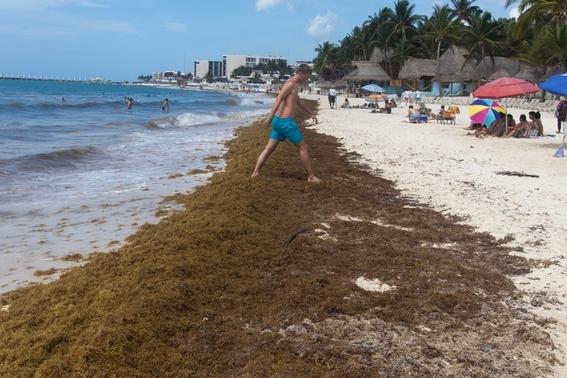 la dependencia buscara alternativas que reduzcan el impacto producido por esta alga 1