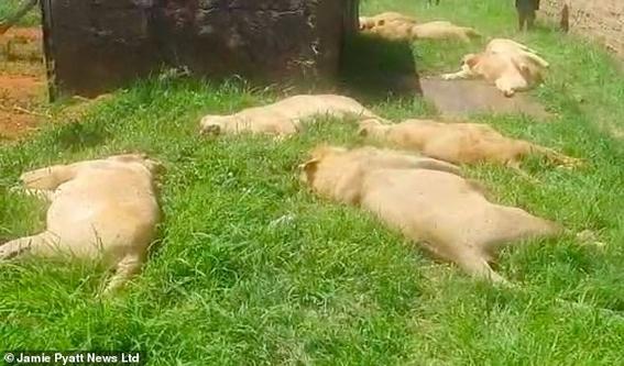 cazadores furtivos envenenan a 8 leones; mutilan sus hocicos y patas 1