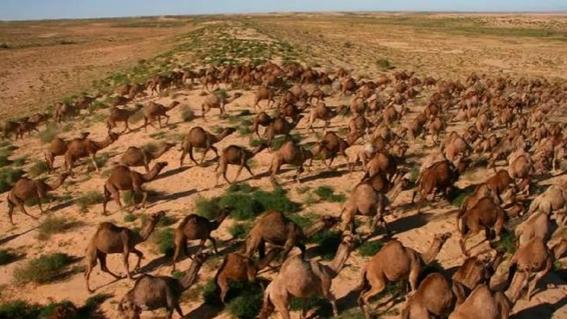 mataran a 10 mil camellos que buscan agua en australia 1