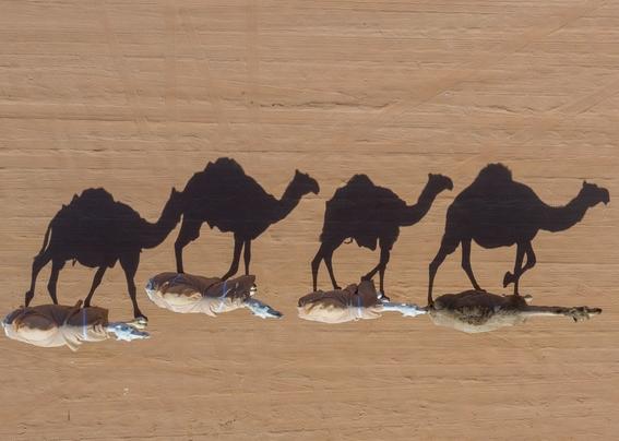 mataran a 10 mil camellos que buscan agua en australia 2
