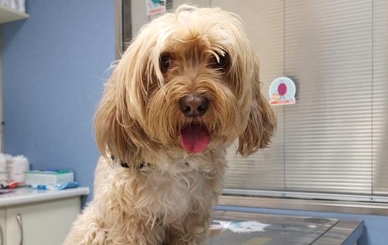 que es el coronavirus canino sus sintomas y tratamiento 1