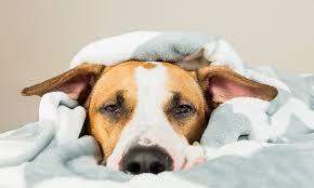 que es el coronavirus canino sus sintomas y tratamiento 2