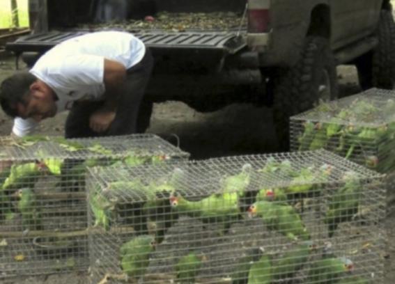 cortan alas a 106 loros en peligro de extincion en mazatlan 1