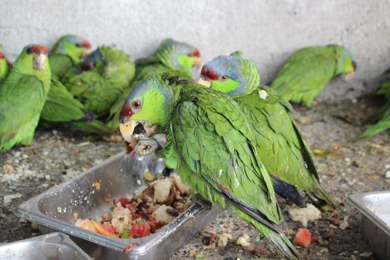 cortan alas a 106 loros en peligro de extincion en mazatlan 2