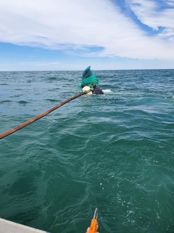 la ballena se encontraba atrapada en una red de pesca prohibida; elementos de la marina profepa y conanp trabajaron en conjunto para liberarla 1