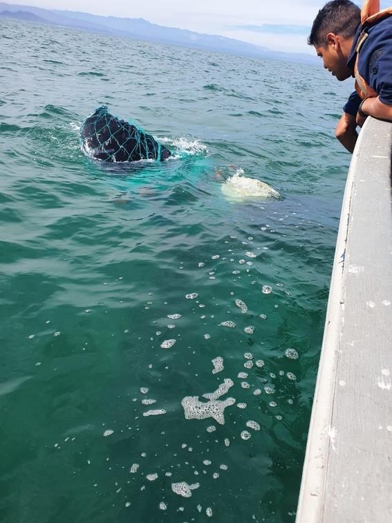 la ballena se encontraba atrapada en una red de pesca prohibida; elementos de la marina profepa y conanp trabajaron en conjunto para liberarla 2
