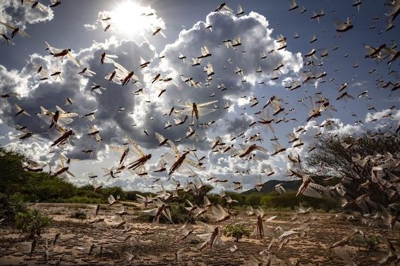 plaga de langostas azota el desierto de africa la peor en 70 anos 2