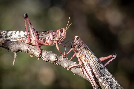 plaga de langostas azota el desierto de africa la peor en 70 anos 3