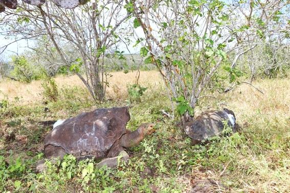tortuga diego tortugas gigante 1