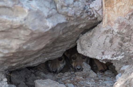 nacen ocho cachorros de lobo gris mexicano en coahuila 1