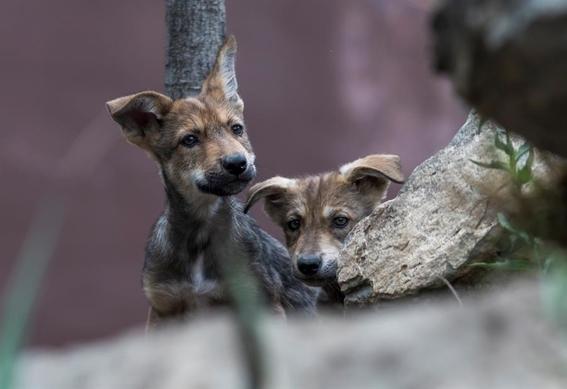nacen ocho cachorros de lobo gris mexicano en coahuila 2