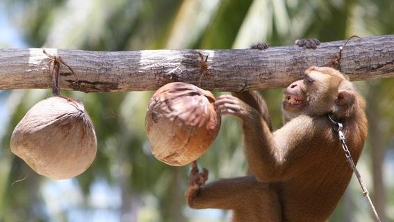 monos son esclavizados para recolectar cocos en tailandia 1