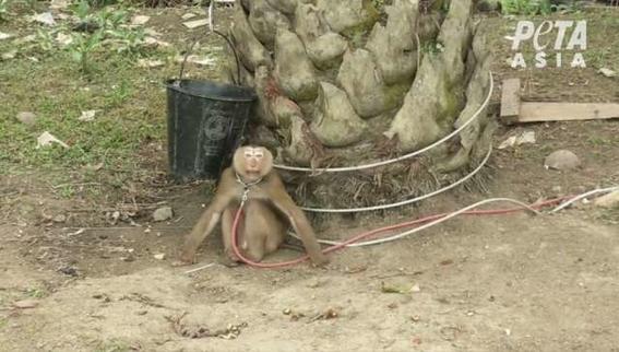monos son esclavizados para recolectar cocos en tailandia 2