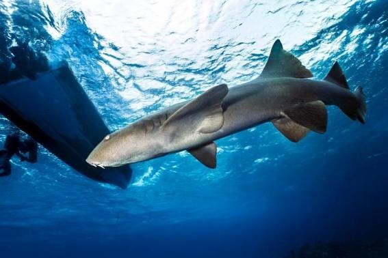 tiburones estan en peligro de extincion por venderse como pescado 1