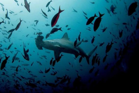 tiburones estan en peligro de extincion por venderse como pescado 2