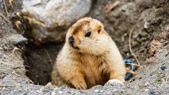 adolescente muere de peste bubonica tras comer carne de marmota 2