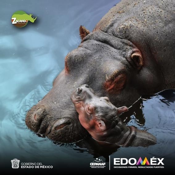 nace hipopotamo del nilo zoologico de zacango edomex 1