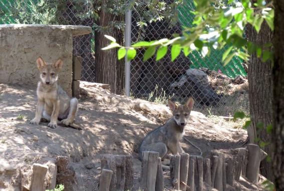 nombre cachorro de lobo mexicano zoologico de san juan de aragon 1