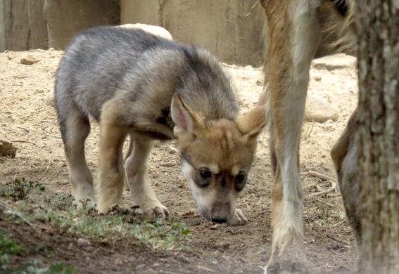 nombre cachorro de lobo mexicano zoologico de san juan de aragon 2