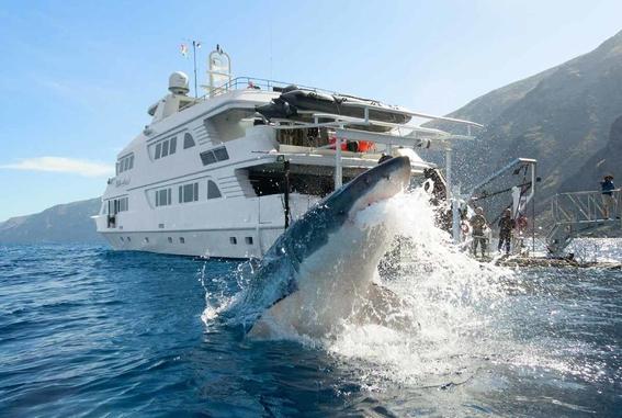 piratas chinos amenazan a tiburones blancos en mexico 1