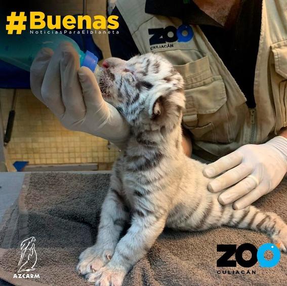 nace tigre blanco zoo culiacan 1