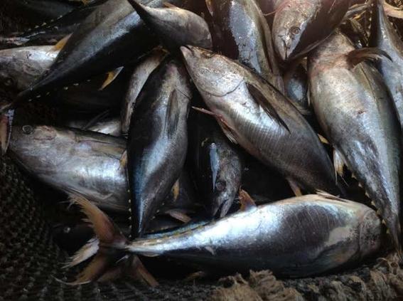 descubren carne de delfin en latas de atun en mexico 1