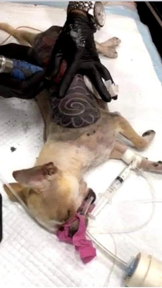 polemica moda de tatuar perros indigna las redes sociales 1