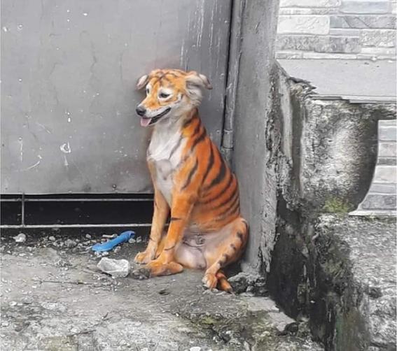 perro pintado tigre facebook viral 1