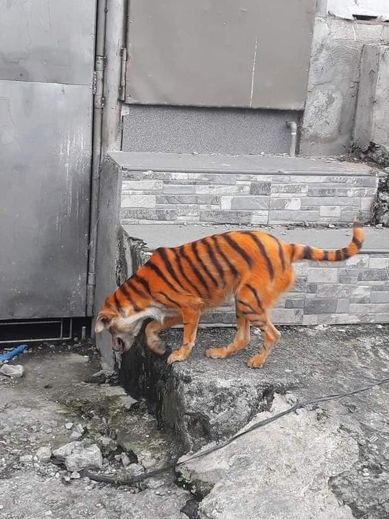 perro pintado tigre facebook viral 2